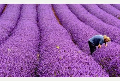purple11
